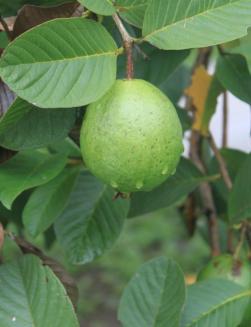 Carasuchi Villa Holiday Rental Tagaytay Philippines Guava