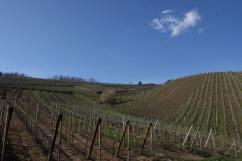Organic vineyards in Alsace