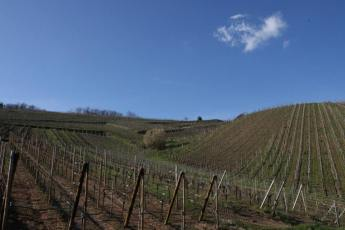 Organic vineyards in Alsace