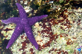 And finding a purple starfish