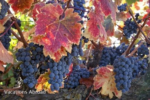 Varietal Grapes on vine