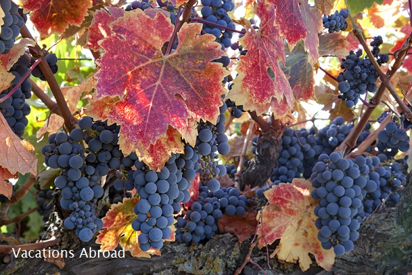 Varietal Grapes on vine