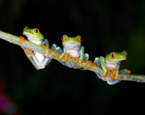 Tree Frogs in Costa Rica's Rainforests