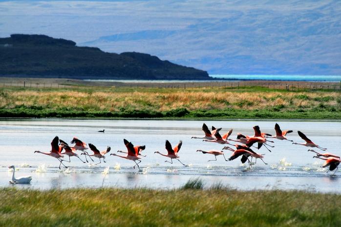 Flamingos,_Lago_Argentino,_Patagonia,_Argentina